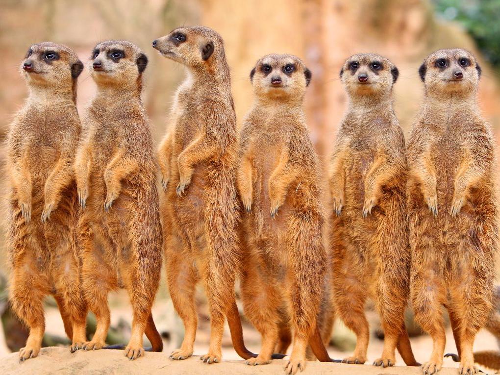 В Московском зоопарке появились на свет детёныши сурикатов